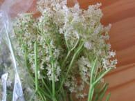Jus de fleurs de sureau : Etape 1